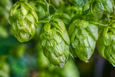Hop cones, close-up. Agricultural plant used in the brewing industry 免版税图像 - 119886051