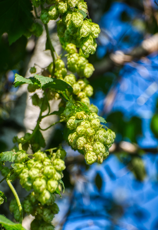 Hop cones, close-up.