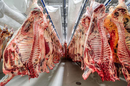 Lots of beef carcasses hang in the large refrigerator. Refrigerating chamber for preliminary cooling of meat.