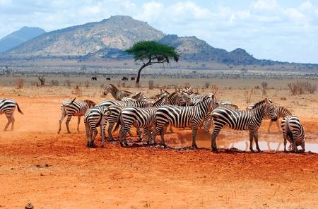 pozo de agua: Cebras en un pozo de agua