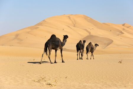 Three camels in the araischen desert  photo