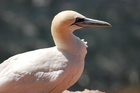 helgoland: A gannet in the flight before the cliffs of Helgoland