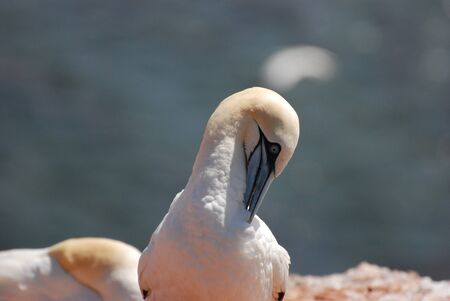 helgoland: Two gannets on the cliffs of Helgoland  Stock Photo