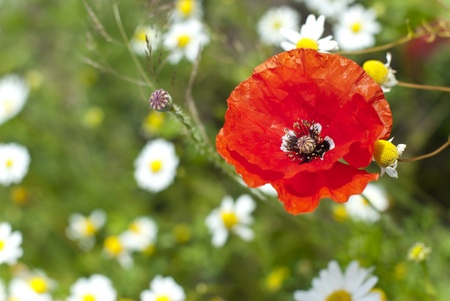 papaver rhoeas: a red poppy  Papaver rhoeas  blossom on a meadow