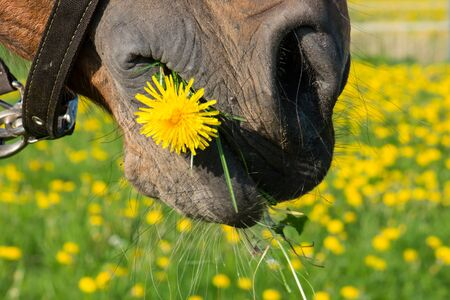 a horse with dandelion in the mouth photo