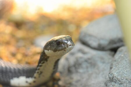 siamensis:  snake  Naja siamensis  beside stones Stock Photo