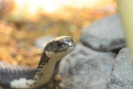 siamensis:  snake  Naja siamensis  beside stones Stock Photo