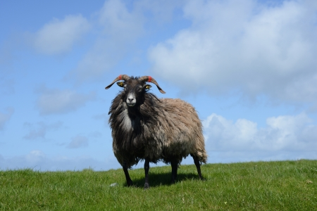 Sheep on grass In Helgoland  photo