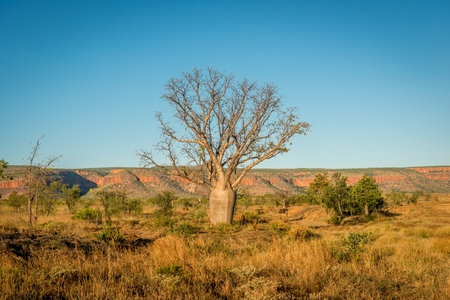 western australia: Baobab Tree Stock Photo