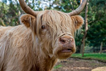 highland: Highland Cow in Western Australia Stock Photo