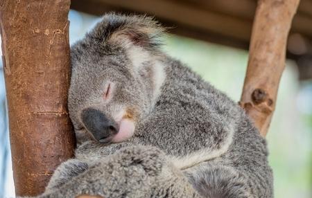 orphaned: Sleeping Koala Bear in Tree
