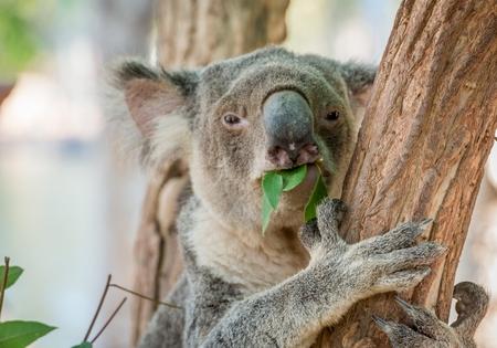 orphaned: Eating Koala Bear in Tree Stock Photo