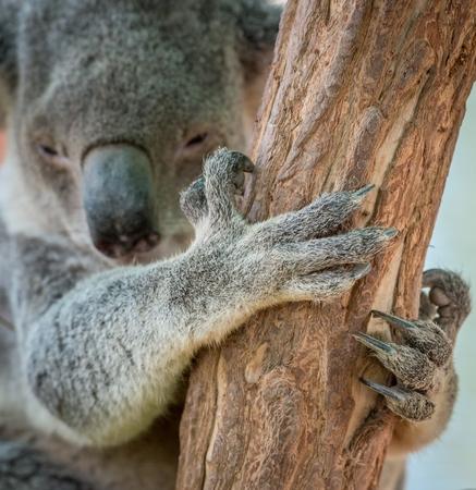 koala: Garra de oso koala en árbol