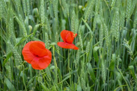 bud weed: Cultivation of poppies (Papaver rhoeas) on the field near vienna, austria