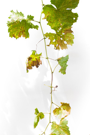 Dry grapes leaves on white background