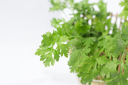 Green coriander leaves in basket isolated on white