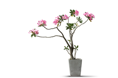 Pink of azalea flowers in concrete pot isolated white background