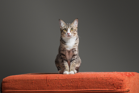 Kitten sitting on scratched orange fabric sofa on cray background