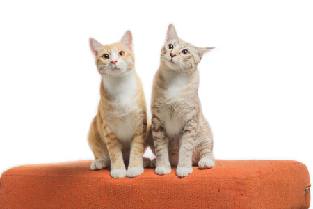 Kittens sitting and looking on orange fabric sofa isolated on white background