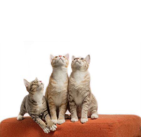 Kittens sitting and looking on scratched orange fabric sofa on white background 版權商用圖片