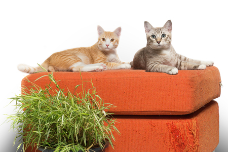 Kittens sitting on scratched orange fabric sofa white background