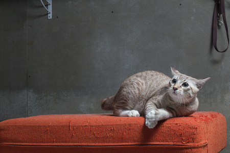 Cat sitting on scratched orange fabric sofa on gray background