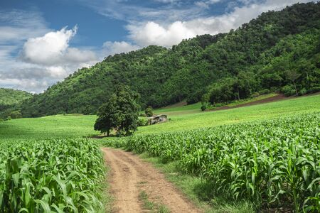 soil paths flanked by green growing corn field on hill 写真素材