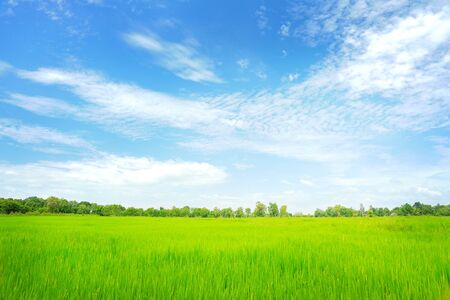 rice paddy field in the fresh day