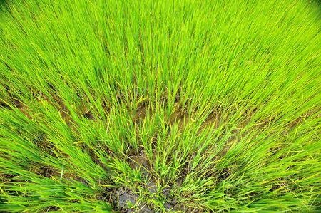 view from the top of rice paddy photo