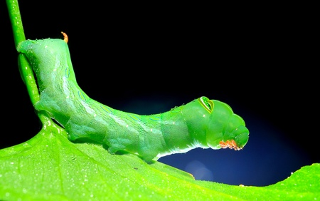 closeup green caterpillar in nature photo