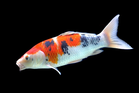 Beautiful fish in aquarium isolated on black  Stock Photo - 16110905