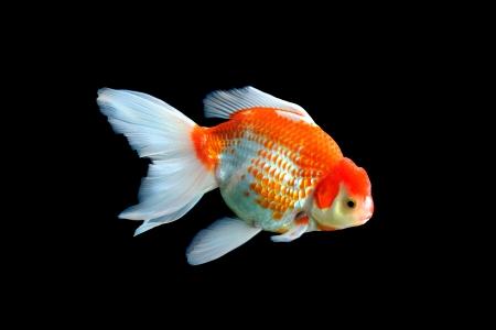 Beautiful fish in aquarium isolated on black  Stock Photo - 16110910