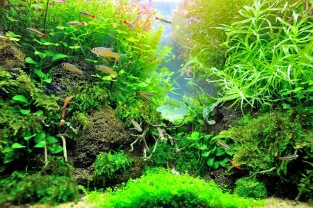 Belle aquarium planté avec des poissons tropicaux