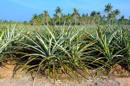 pineapple tree: �rbol de la pi�a de cerca en el campo de la pi�a Foto de archivo