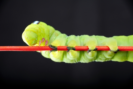 alone green worm, butterfly worm photo