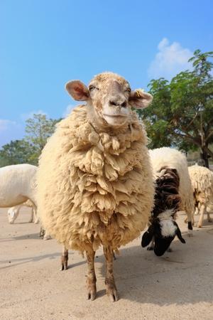 closeup sheep in the farm photo