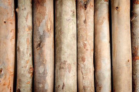 closeup nature texture of eucalyptus wood photo