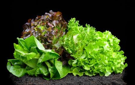 isolate lettuces on black soil