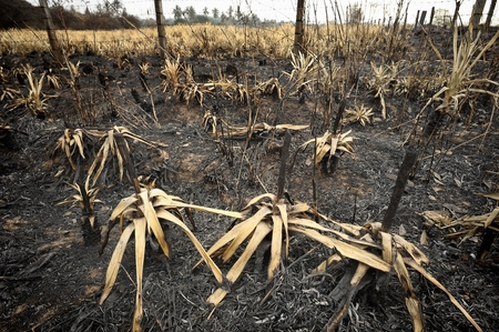 The pineapple was burned by farmers. To prepare for the new crop. photo