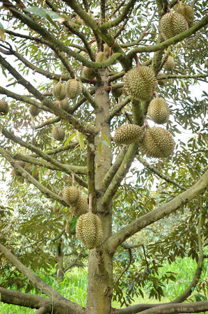 Thai durian on it's tree in the orchard 스톡 콘텐츠