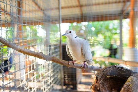 birdcage: closeup white pigeon in birdcage