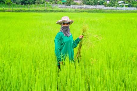 ROIET, THAILAND - AUGUST 13, 2014: Thai women farmer working in her paddy.