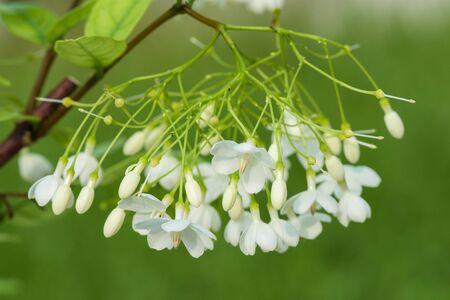 apocynaceae: Wrightia religiosa (Apocynaceae) flowers against green.