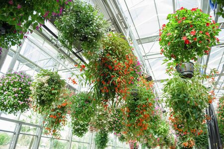 flowerpots: hanging flowerpots with blossom flowers in the plant Stock Photo