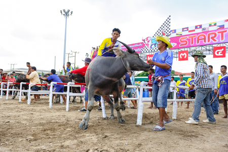 racing festival: CHONBURI, THAILAND - OCTOBER 18, 2013: Unidentified participants are preparing buffalos to race in 142nd Buffalo Racing Festival. This festival is a tradition of Chonburi.