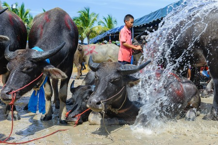 racing festival: CHONBURI, THAILAND - OCTOBER 18, 2013: Buffalo take a bath during wait for competition in 142nd Buffalo Racing Festival. This festival is a tradition of Chonburi.