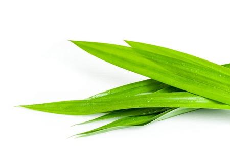 closeup green fresh Pandan leaves, Thai herbal