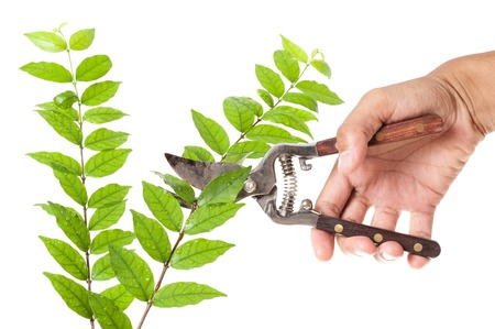 pruning scissors: cutting the branch with old pruning scissors