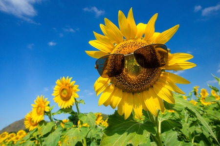 Sunflower wearing sunglasses, field of blooming sunflowers