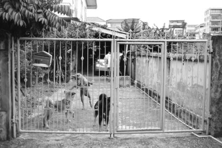 The dogs playing and fighting together. Black and white street photography.